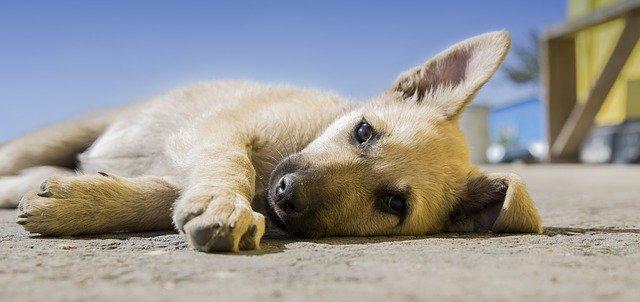 Puppy hondje huisdier
