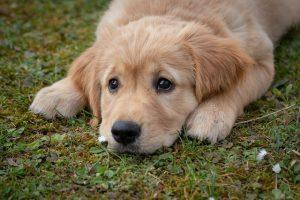 Golden Retriever hond puppy